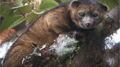 Scientist Discovers New Mammal Carnivore