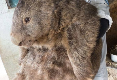 The world's oldest and biggest known wombat turned 29 this week