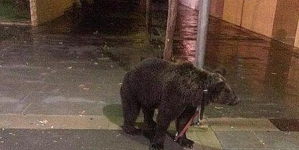 Man went to get drink after tying his pet bear into the lamppost