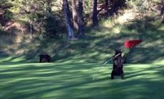 This bear really likes golf