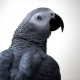 Parrot returned back home after four years speaking completely different accent