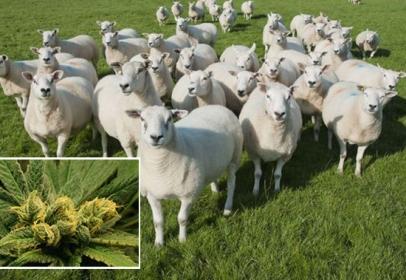 Sheep accidentally had eaten cannabis worth $5,500 (almost)