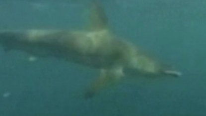Footage of shark chasing kayakers for two miles gone viral