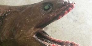 Fisherman captured a rare shark which has 300 razor sharp teeth