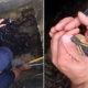 Fireman rescued ducklings by playing quack ringtone in his phone