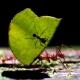 Ants follow any leader to haul heavy loads