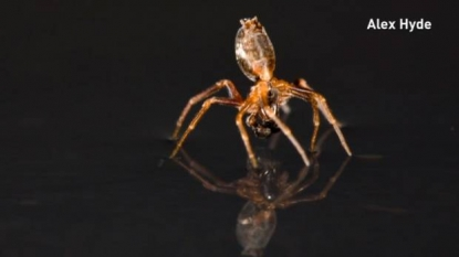 Seafaring spiders use legs as sails, silk as anchor