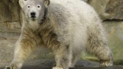 Now we know what killed Knut the celebrity polar bear