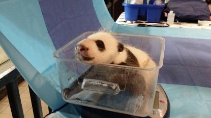 First ladies name giant panda cub