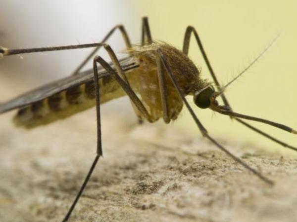 Culex mosquito identification