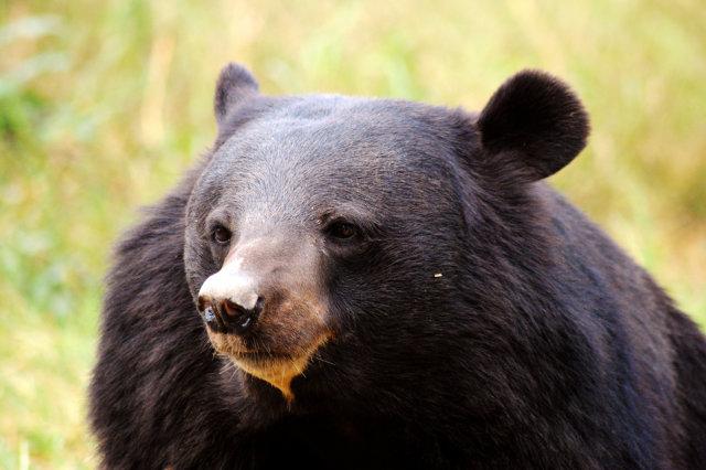 Black Bear Stock Photos Royalty Free Black Bear Images